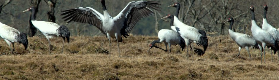 Black Necked Cranes